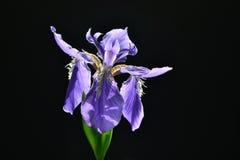 Irysowy kwiat Zdjęcia Royalty Free