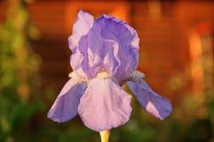 Irysowy kwiat Obrazy Royalty Free
