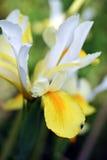 Irysowy kwiat w ogródzie Obrazy Royalty Free