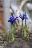 Irysowy kwiat w ogródzie zdjęcie royalty free