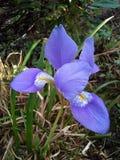 Irysowy kwiat w ogródzie Obraz Stock