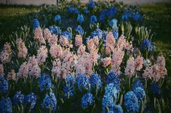 Irysowy kwiat w Peterhof parku, Rosja Fotografia Royalty Free