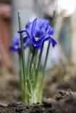 Irysowy kwiat ześrodkowywający odizolowywającym zdjęcie royalty free