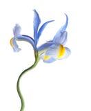 irysowy kwiatu lila Obrazy Royalty Free