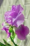 Irysowy Purpurowy flowerbed kwitnie, perennial, wiosna kwiat, Fotografia Stock