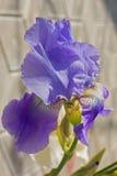Irysowy Purpurowy flowerbed kwitnie, perennial, wiosna kwiat, Zdjęcie Royalty Free