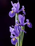 irysowy purpurowy spanish obrazy stock