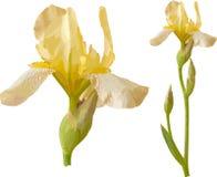 irysowy wektorowy kolor żółty Obrazy Stock