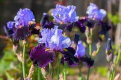 Irysy (lat à  ris) flowerbed kwitnie, perennial, wiosna kwiat, Obrazy Stock
