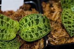 Iryzuje liście z błyszczącymi złota i srebra żyłami zdjęcie stock