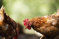 ISA Brown Chicken stock foto's