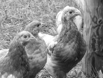 ISA Brown Hen Chicken. Free Ranging young ISA Brown Hen Chicken Royalty Free Stock Images
