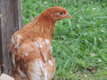 ISA Brown Hen Chicken Stock Photography