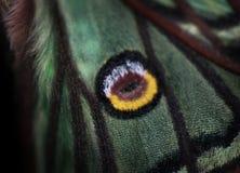 Isabelina of Iberische Maanvlinder in proces van uitsterven stock foto