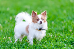 Isabella (blue-fawn) and white chihuahua dog portrait Royalty Free Stock Photo