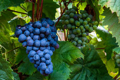 Isabella druvor som växer på en filial i en vingård Arkivbild