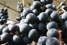Isabella Grapes Images stock