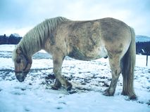 Isabella horse enjoy first snow on field. Horse find place for rolling in muddy fresh snow winter wild tame strength stallion snowflake run riding rein ranch stock images