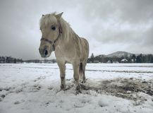Isabella horse enjoy first snow on field stock photo