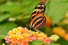 Isabella long wing butterfly Royalty Free Stock Photography