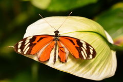 Isabella long wing butterfly Royalty Free Stock Images
