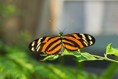 Isabella Longwing Butterfluy stock photography