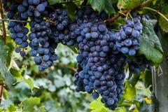 Isabella winogrona r na gałąź w winnicy Fotografia Royalty Free