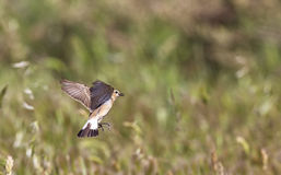Isabellina Wheatear Hovering Royalty Free Stock Photography