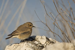 Isabellina Wheatear. An isabellina wheater is looking around on a piece of rock Stock Images