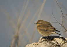 Isabellina Wheatear Stock Images