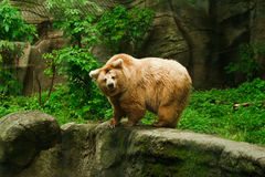 Isabelline熊在动物园里 免版税库存图片