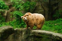 Isabelline björn i zoo Royaltyfri Bild