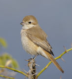 Isabelline Shrike Stock Images