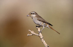 Isabelline shrike,Lanius isabellinus Royalty Free Stock Photo