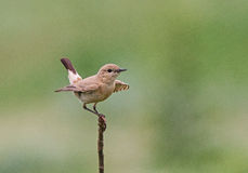 Isabelline Wheatear Stock Photos