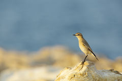 Isabelline Wheatear in the coast of Bahrain Royalty Free Stock Photo