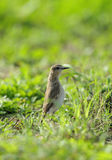 Isabelline Wheatear in grasses Stock Photo