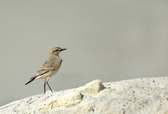 Isabelline Wheatear Royalty Free Stock Photography