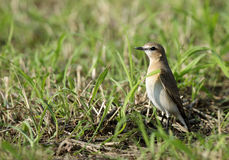 Isabelline Wheatear Royalty Free Stock Images