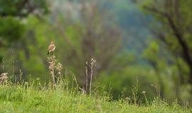 Isabelline Wheatear perching at meadow. An Isabelline Wheatear - Oenanthe isabellina - perching on a bush at a meadow of the Eastern Rhodope Mountains in Stock Photography