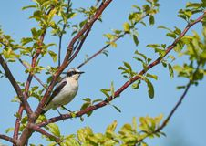 Isabelline wheatear, a small migratory bird,sitting on a tree branch. Isabelline wheatear or oenanthe isabellina ,a small migratory insectivoruos bird sitting royalty free stock image