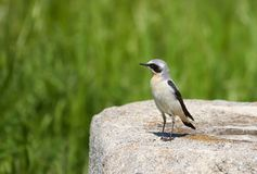 Isabelline wheatear, a small migratory bird,sitting on a rock.. Isabelline wheatear is a small passerine bird. Oenanthe isabellina is a migratory insectivorous stock photo