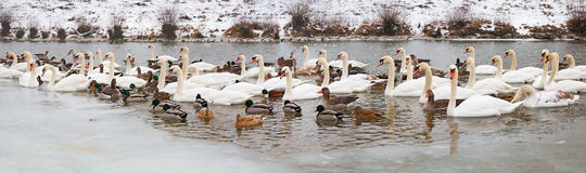 Isar river in winter with lots of swans, gooses and ducks Royalty Free Stock Image