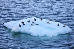 Isberg med havsfåglar Fotografering för Bildbyråer