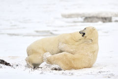 Isbjörn Arkivfoto