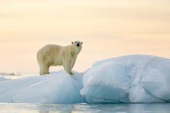 Isbjörn Fotografering för Bildbyråer