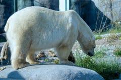 Isbjörn Arkivbild