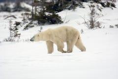 Isbjörn royaltyfria foton