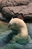 Isbjörn Arkivfoton