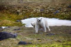 Isbjörn anfallen fotograf arkivbilder